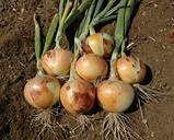 Семена Лук Шерман F1 / Sherman F1, 250 тыс.семян, фото 2