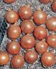 Семена Лук Тамара F1 / Tamara F1, 250 тыс. семян