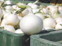 Семена Лук Вайт Винг F1 / White Wing F1, 250 тыс. семян