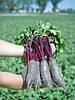 Семена Свекла Таунус F1 / Taunus F1, 10 000 семян