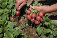 Семена Редис Ролекс F1 / Rolex F1 NEW! (2, 75-3, 00 мм), 50 тыс. семян