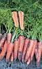 Семена Морковь Канада F1 / Canada F1, (1, 6-1, 8 мм), 1 млн. семян