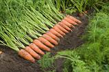 Семена Морковь Каскад F1 / Cascade F1, (1, 6-1, 8 мм), 1 млн. семян, фото 2