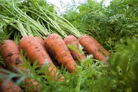 Семена Морковь Карине / Carini, 500 гр.