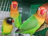 Корелла, волнистый попугай, Чехи, неразлучники, ожереловый попугай и др. -ручные
