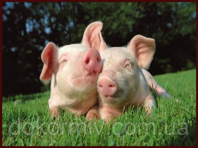БМВД MAXX для свиней откорм 20% (белковая добавка с максимальным количеством витаминов, минералов и аминокисл), фото 2