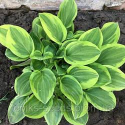 Хоста желто-зеленая (Низкорослая) — молодое растение