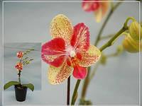 Саджанці орхідей