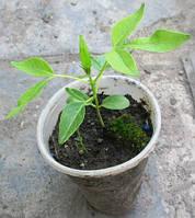 Бархат амурский. (Phellodendron amurense). Сеянец в Д5. Опт от 1 шт.