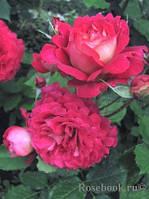 Роза Доктор Массад