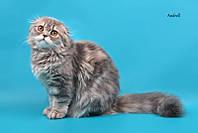 Продаётся котёнок: КОШЕЧКА шотландская ВИСЛОУХАЯ