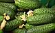 Семена огурца SV 4097 CV F1 \ СВ 4097 F1 250 семян Seminis, фото 2