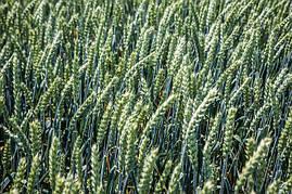Насіння м'якої озимої пшениці Сімоніда