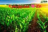 Чому Цинк (Zn) так важливий для кукурудзи?