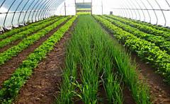Как вырастить салат, укроп и петрушку в теплице