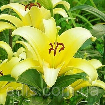 Лилия гигант Yelloween (Еллоувин) 1 луковица 12/14, фото 2