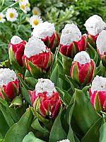 Тюльпан махровый Ice Cream , фото 1