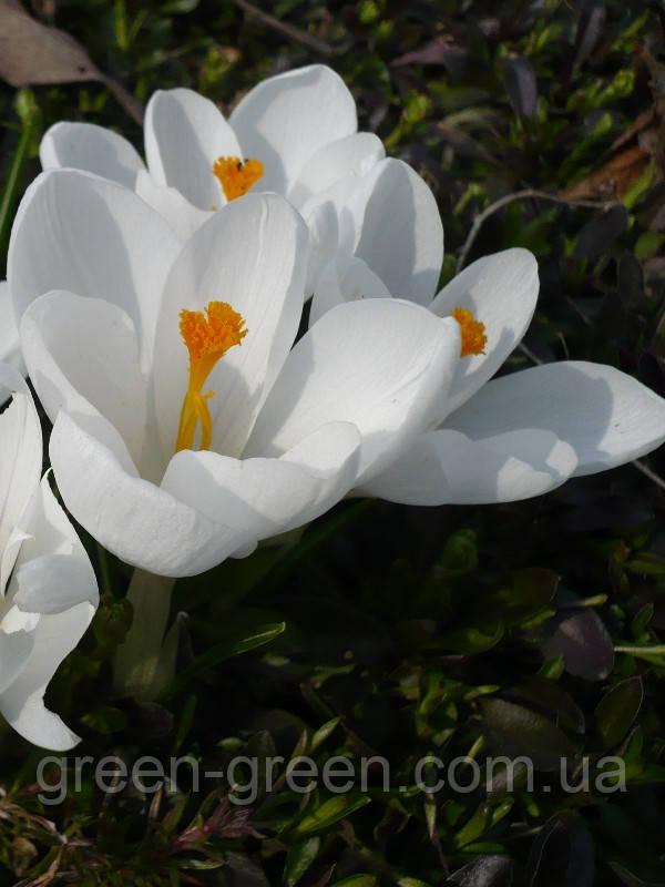 Крокус крупноцветковый Janne D'arc (5 шт.)