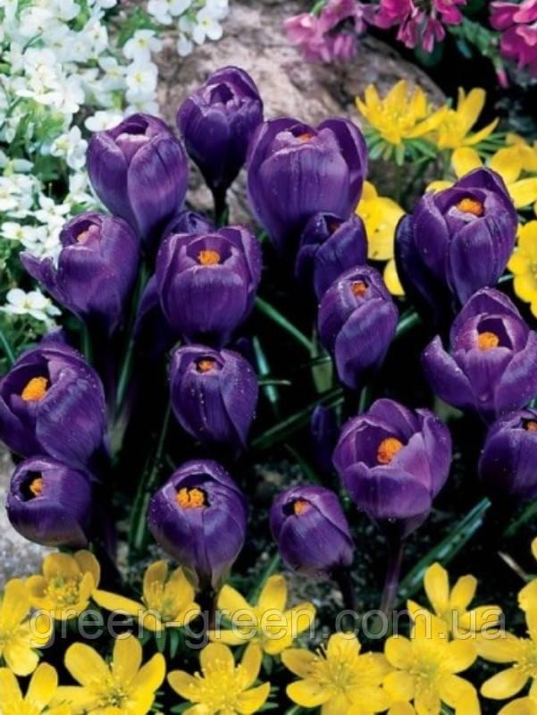 Крокус крупноцветковый Flower Record (5 шт.)