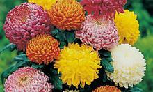 Хризантема- саженцы в горшках.