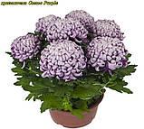 Маточник хризантема Cosmo Purple (Космо Перпле), фото 3