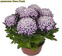 Хризантема Cosmo Purple (Космо Перпле)
