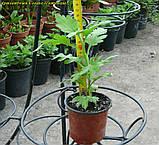 Маточник хризантема Cosmo Purple (Космо Перпле), фото 6
