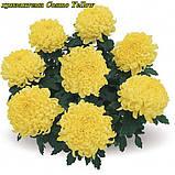 маточник хризантема Cosmo Yellow (Космо Єллоу), фото 7