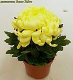 маточник хризантема Cosmo Yellow (Космо Єллоу), фото 4