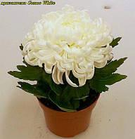 Хризантема Cosmo White (Космо Вайт)