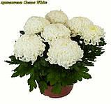 маточник хризантема Cosmo White (Космо Вайт), фото 3