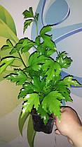 Гибискус сирийский Арденс \ Hibiscus syriacus 'Ardens' ( саженцы 2 года), фото 3