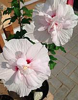 "Гибискус сирийский махровый ""Чина Шифон "" \ Hibiscus syriacus China Chiffon ( саженцы 2 года), фото 2"