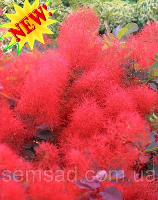 Скумпия кожевенная Руби Глоу  \ cotinus coggygria 'Ruby Glow' ( саженцы 2 года)