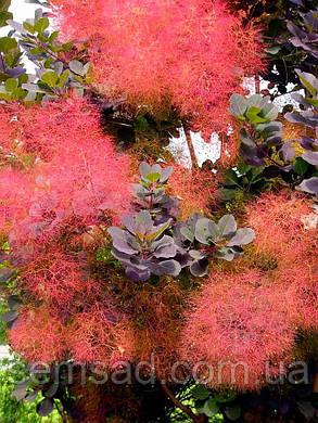 Скумпия кожевенная Руби Глоу  \ cotinus coggygria 'Ruby Glow' ( саженцы 2 года) , фото 2
