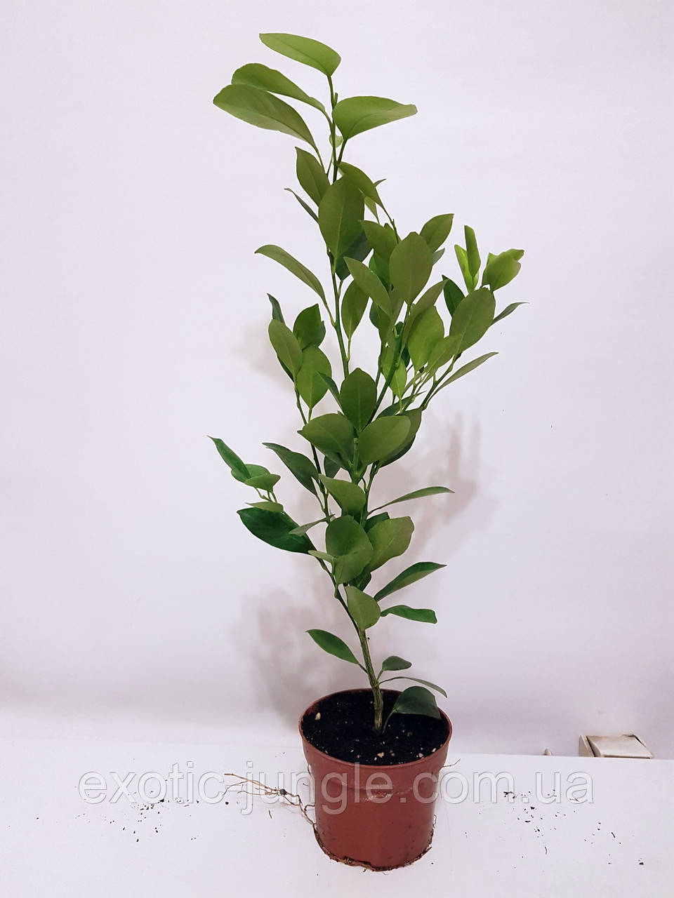 Каламондин / Цитрофортунелла (Citrofortunella microcarpa) 20-25 см. Комнатный