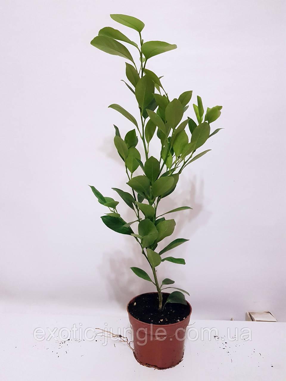 Каламондин / Цитрофортунелла (Citrofortunella microcarpa) до 20 см. Комнатный