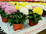 Хризантема Cosmo Микс  White 3 в 1 горш 2 литр, фото 2