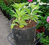Хризантема Cosmo Микс  White 3 в 1 горш 2 литр, фото 3