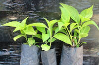 Гортензия крупнолистная (садовая) Rosita (Розита). Саженцы в контейнерах Д6.