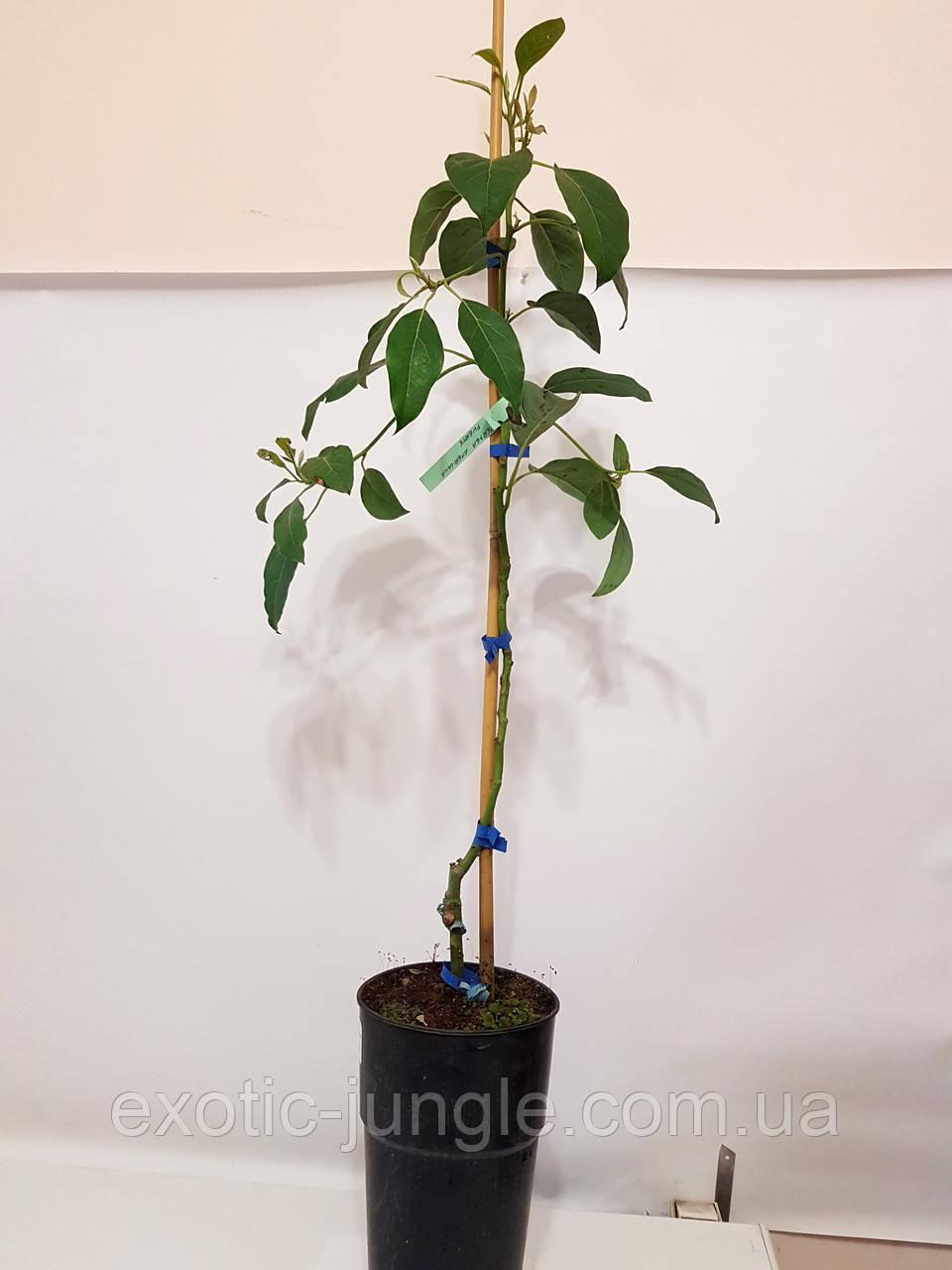 Авокадо (Persea americana) 30-40 см. Дичка. Комнатный