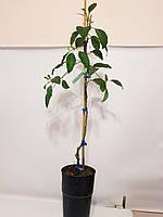 Авокадо (Persea americana) 30-40 см. Дичка. Комнатный, фото 1