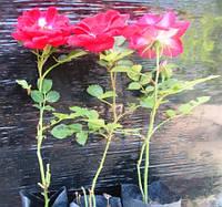 Роза миниатюрная красная. Саженцы в контейнерах Д6.