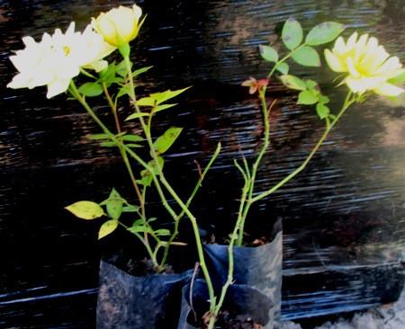 Роза миниатюрная желтая. Саженцы в контейнерах Д6.