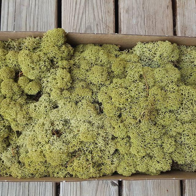 Стабілізований мох (ягель) для декору коробка 0,5 кг