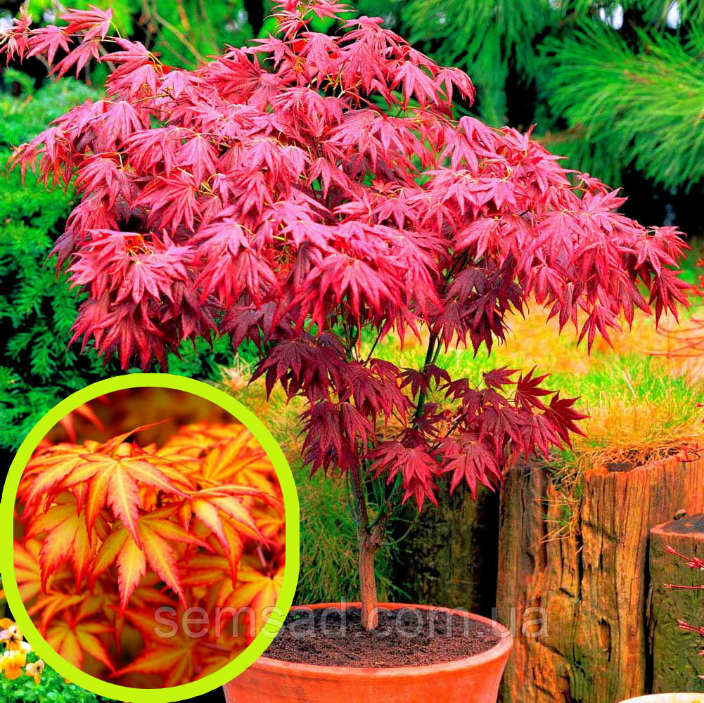 Клен пальмолистный Вильсон Пинк Дварф \ Acer palmatum 'Wilson's Pink Dwarf'  ( саженцы 2л )