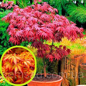 Клен пальмолистный Вильсон Пинк Дварф \ Acer palmatum 'Wilson's Pink Dwarf'  ( саженцы 2л ), фото 2
