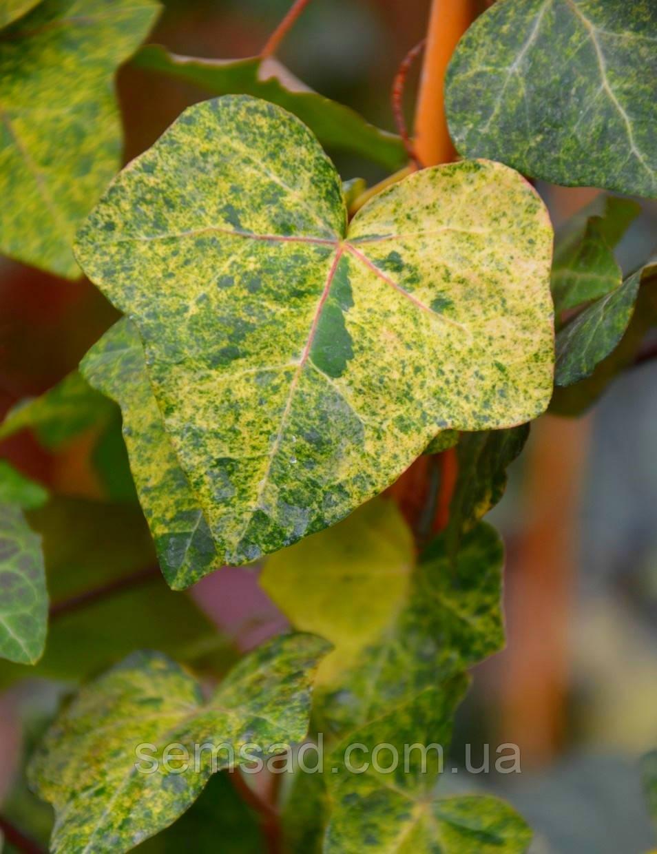 "Плющ садовый вечнозеленый ""Gold Dust""  ( саженцы 2х летки)"