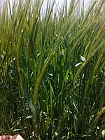 Семена ячменя ярового Командор (СН-1)