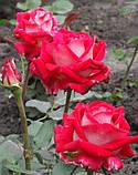Роза Luxor (Люксор), фото 3